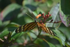 Really Fantastic Look at a Longwing Butterfly in Aruba