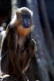 Fantastic Look at a Young Mandrill Monkey Royalty Free Stock Photos
