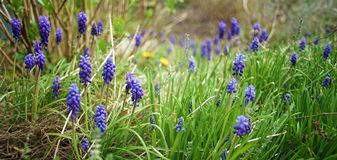 Purple spring flowers landscape stock image