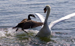 Fantastic moment with the Canada goose attacking the swan on the lake Stock Photos