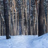 Fantastic nature trunks of tall pines in a winter forest nobody around. Fantastic nature trunks and sharp branches of tall pines in the winter forest nobody Stock Photos