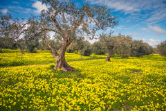 Fantastic olives garden Stock Photography