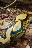 Fantastic pattern and skin of Boa. Boa on the log on ground of tropical forest. Cambodia-Thailand border. Fantastic pattern and skin of Boa. Boa on the log on stock images