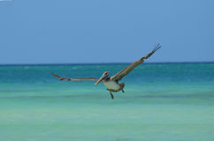 Fantastic Pelican with Large Wingspan Extended in Flight Stock Image