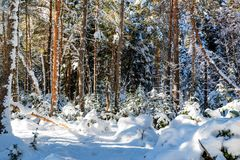 Fantastic pine winter forest with trees covered in snow royalty free stock images