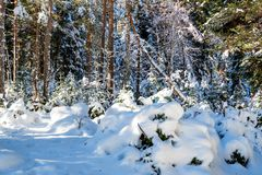 Fantastic pine winter forest with trees covered in snow royalty free stock photos