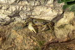 Fantastic portrait of crab on the sea cliffs Stock Photography