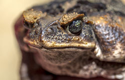 Fantastic portrait of horned toads threatening frog Royalty Free Stock Photography