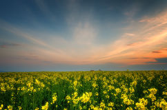 Fantastic rapeseed field at the dramatic overcast sky. Dark clouds, contrasting colors. Magnificent sunset, summer landscape. Stock Images