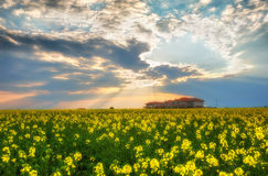 Fantastic rapeseed field at the dramatic overcast sky. Dark clouds, contrasting colors. Magnificent sunset, summer landscape. Royalty Free Stock Photography