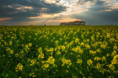 Fantastic rapeseed field at the dramatic overcast sky. Dark clouds, contrasting colors. Magnificent sunset, summer landscape. Royalty Free Stock Photo