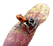 Fantastic red headed poison dart frog stock photography