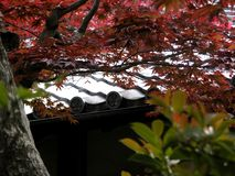 Fantastic red maple in the garden of a Japanese shrine. stock photo