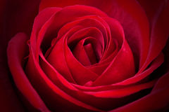 Fantastic red rose Royalty Free Stock Images