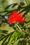 Bright red tassel flower royalty free stock photography