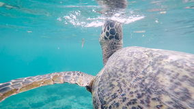 Fantastic scene of huge Indonesian turtle swimming deep in the ocean. Big terrapin of wonderful colour slowly floating