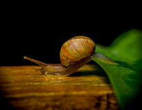 Fantastic shot of dark colored snail completing Stock Photo