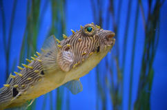 Fantastic Spikey Striped Burrfish with Eel Grass Underwater. Spikey striped burrfish with eel grass swimming underwater Stock Image
