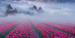 Fantastic spring landscape with tulip fields cultivated outdoo. R. Mystic fog hiding mountain on the horizon Stock Photo