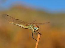 Fantastic sympetrum dragonfly in full equilibrium. Magnificent sympetrum dragonfly in equilibrium Royalty Free Stock Photo