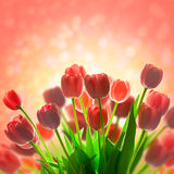 Fantastic Tulips holiday background with  magic light Royalty Free Stock Images