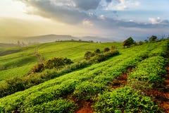 Fantastic view of amazing tea plantation at sunset Royalty Free Stock Photo