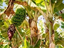 Fantastic view in a banana plantation royalty free stock image