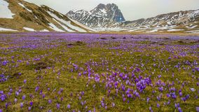 Fantastic view of Campo Imperatore with flowering of crocus vernus, Gran Sasso, Abruzzo. Italy, Europe royalty free stock photography