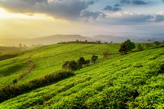 Fantastic view of tea plantation at sunset. Beautiful rows of young bright green tea bushes and scenic colorful evening sky are visible in background. Amazing royalty free stock photos