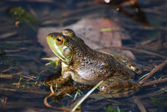 Fantastic View of a Toad in Shallow Water Stock Photos