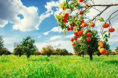 Fantastic views of the beautiful orange trees in Italy. Stock Photo