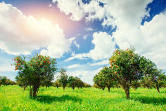 Fantastic views of the beautiful orange trees in Italy. Stock Images