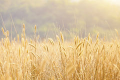 Fantastic wheat field under sunshine royalty free stock photography