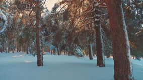 Fantastic winter landscape during sunset. winter pine the sun forest in the snow sunlight movement. frozen lifestyle stock video footage