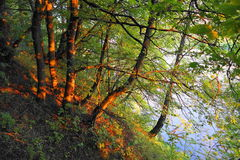 Fantastic wood on coast of the river Stock Image