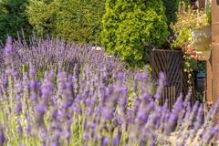 Fantastically beautiful garden with lavender and hanging flowers. View over lavender and hanging plant pots stock images