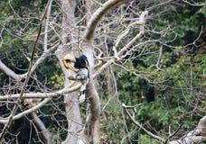 Fantastisch dier en waar te om hen te vinden - Buceros-bicornis/grote hornbill royalty-vrije stock afbeelding