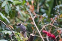 Fantastisch dier en waar te om hen te vinden - Monticola-rufiventris stock afbeelding