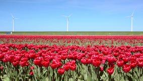 Fantastisch landschap met windmolens en tulpengebied in Nederland Volledige HD-video (Hoge Definitie) stock footage