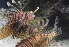 Fantastisch Paar van Firefish die in Zoutwater zwemmen stock foto
