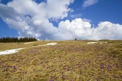 Fantastische bunte Frühlingslandschaft in den Karpatenbergen mit Feldern von schön blühenden violetten Krokussen, Flecken von Sch stockfotos
