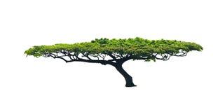 Fantastische Form des Baums Lizenzfreie Stockbilder