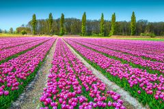 Fantastische Frühlingslandschaft mit rosa Tulpenfeldern in den Niederlanden, Europa Stockfotos
