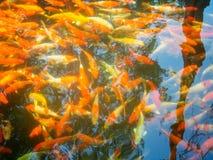 Fantastische Karpfen Fische oder Koi Swim lizenzfreie stockbilder