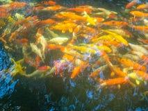 Fantastische Karpfen Fische oder Koi Swim lizenzfreie stockfotografie