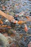 Fantastische Karpfenfische, Fütterungskarpfen Lizenzfreies Stockfoto
