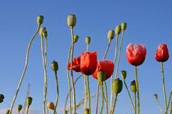 Fantastische Landschaft mit Mohnblumen auf dem Gebiet gegen den Himmel Lizenzfreie Stockbilder