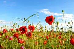 Fantastische Landschaft mit Mohnblumen auf dem Gebiet gegen den Himmel Lizenzfreies Stockfoto
