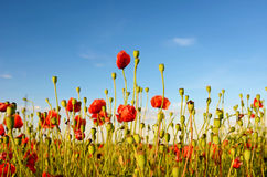 Fantastische Landschaft mit Mohnblumen auf dem Gebiet gegen den Himmel herein Stockfotografie