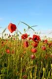 Fantastische Landschaft mit Mohnblumen auf dem Gebiet gegen den Himmel herein Lizenzfreie Stockbilder